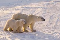 Small two polar bears