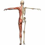 Muscle skeleton
