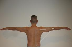 Quadratus Herald Back Body Triceps Traps Lats