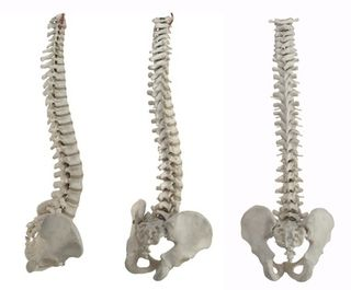 Two halves of the pelvis - lumbosacral connection -  spine lengthening