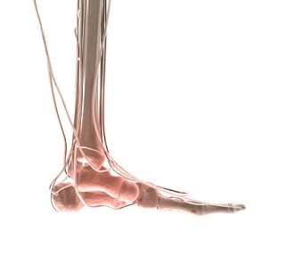 Heel ball - bones of foot - foot balance