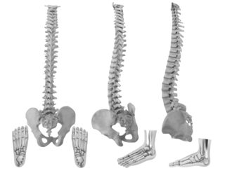 Three spinal angles - three foot angles - Human Foot - © blueringmedia - three spines © James Steidl