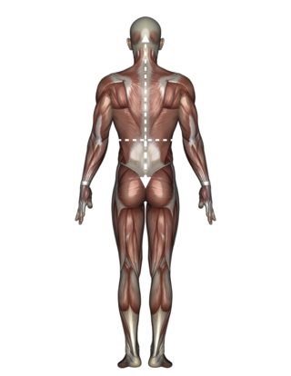 Upper v-shape - lower inverted v-shape - 男性人体模型 - © tsuneomp - Fotolia.com