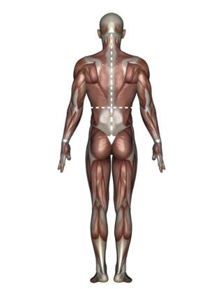 Upper v-shape - lower inverted v-shape - 男性人体模型 - © tsuneomp - Fotolia.com