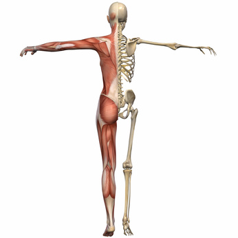 Back body skeletal points and muscles - Weiblich Anatomischer Körper © Andreas Meyer - Fotolia_14473690_XS