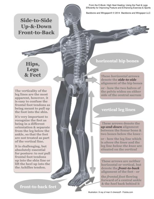 Sagittal feet - posture skeleton - height width depth - X-ray of man © cherezoff