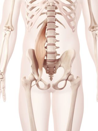 Anatomy illustration showing the psoas major - © Sebastian Kaulitzki - Fotolia.com_63535466_M